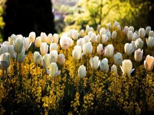 Jardín con tulipanes blancos y flores amarillas