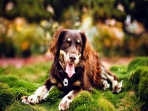 Un precioso perro tumbado y con la lengua fuera