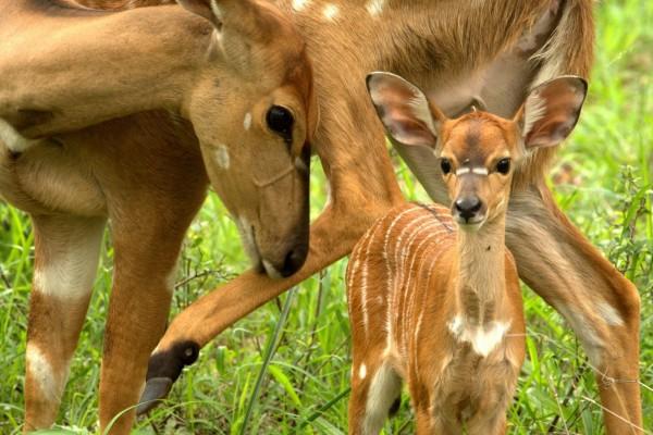 Ciervos en la hierba
