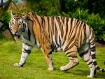 Un precioso tigre caminando en la hierba