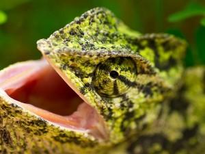 La boca abierta del camaleón