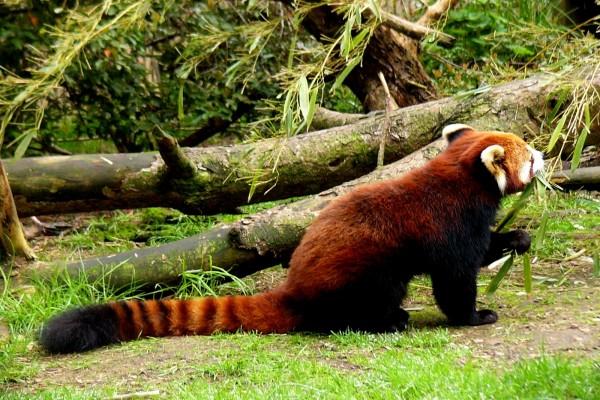 Panda rojo comiendo hojas