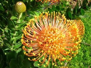 Curiosa flor anaranjada