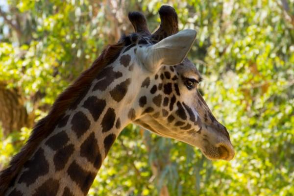 El perfil de una jirafa