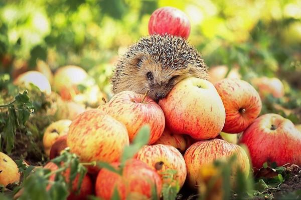 Erizo sobre las manzanas