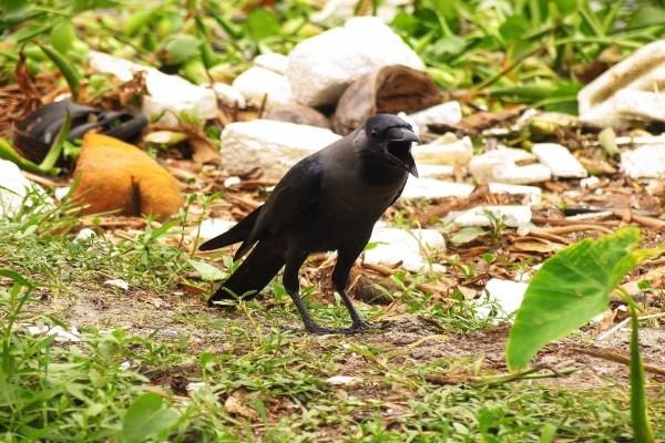 Cuervo con el pico abierto