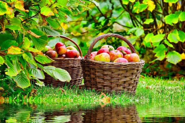 Cestas con manzanas junto al agua