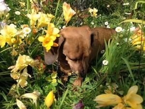Postal: Un perro oliendo las flores