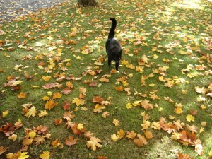 Postal: Un gato negro entre las hojas otoñales