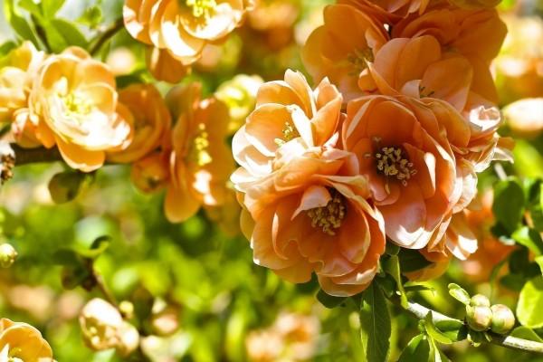 Flores en las ramas de un árbol frutal