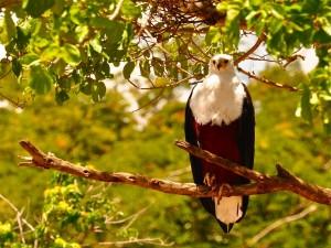 Águila posada en la rama
