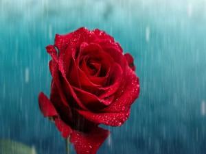 Postal: La lluvia cae sobre una rosa roja