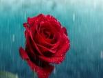 La lluvia cae sobre una rosa roja