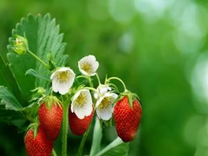 Fragaria con flores y fresas