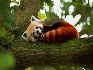 Panda rojo tumbado en el árbol