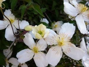 Postal: Planta con flores blancas
