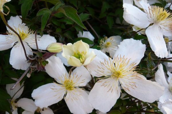 Planta con flores blancas