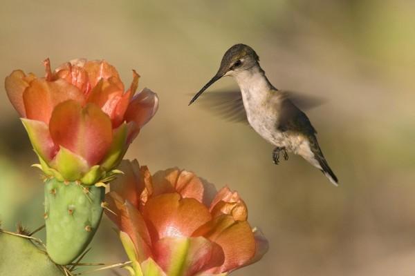 Colibrí junto a las flores de un cactus