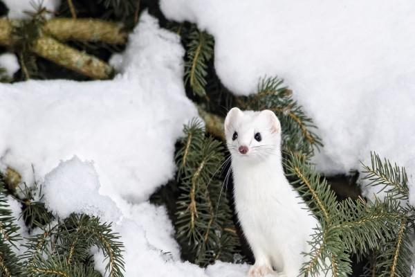 Un armiño entre ramas y nieve