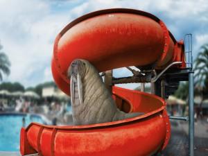 Una morsa en un parque acuático