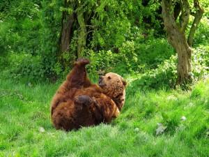 Oso jugando en la hierba