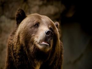Cara de un oso triste
