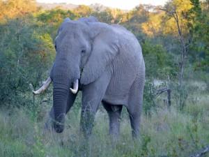 Postal: Elefante en el parque Kruger