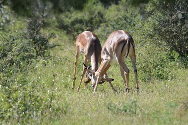 Impalas comiendo hierba en el parque Kruger