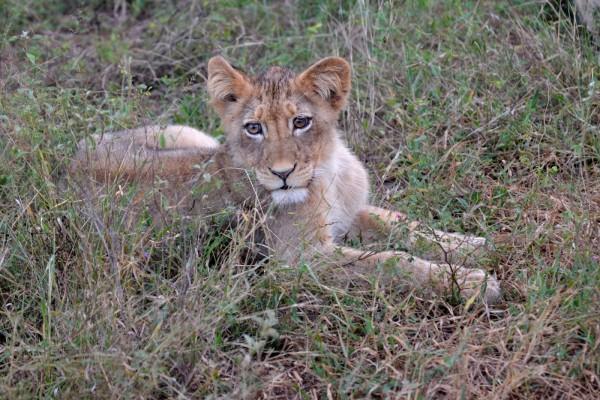 Cachorro de león sentado en la hierba