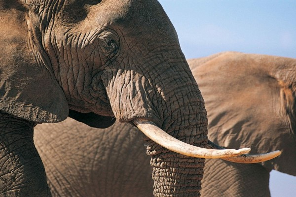 La cara de un elefante con sus grandes colmillos