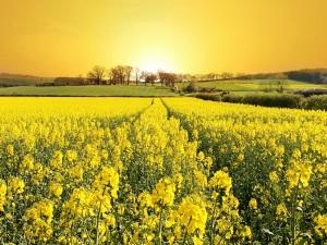 Campo con flores amarillas iluminado por el sol
