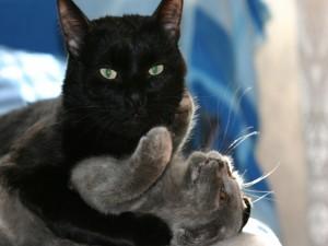 Gato negro abrazando a un gato gris