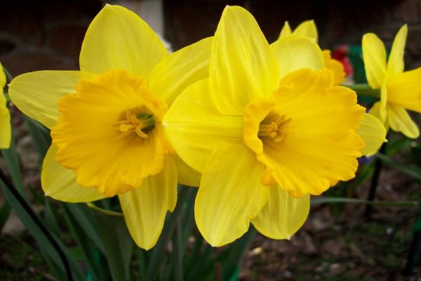 Narcisos de color amarillo