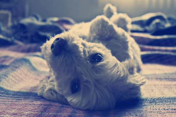 Un perro tumbado boca arriba