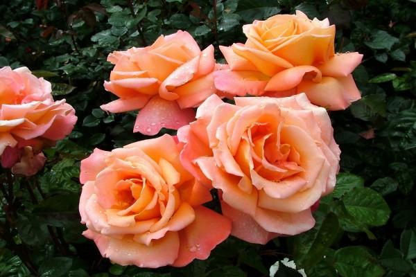 Gotas de agua sobre las rosas y el rosal