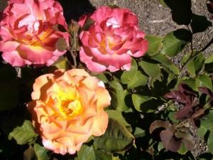 Tres preciosas rosas en el rosal