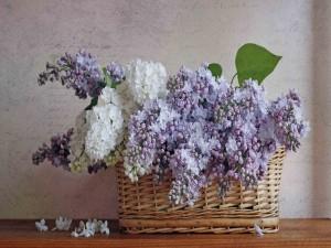 Postal: Cesta con lilas de dos colores