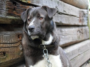 La tristeza de un perro encadenado