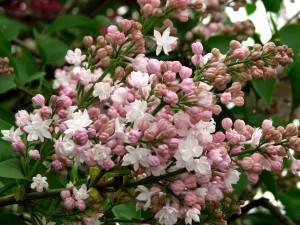 Flores abiertas y cerradas en la rama