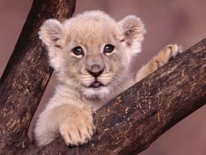 Un precioso cachorro de león