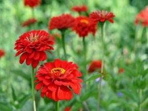 Postal: Preciosas zinnias rojas