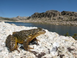 Una rana sobre la roca