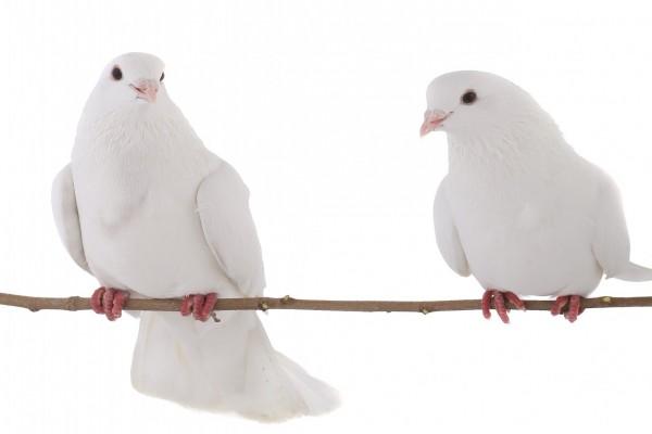 Dos palomas blancas sobre una rama