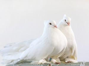 Un par de bellas palomas blancas