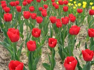 Tulipanes en la tierra seca