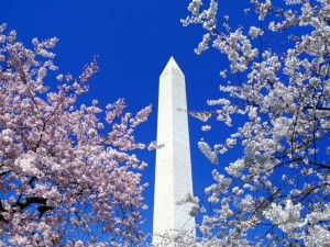 Postal: Árboles en flor y el Monumento a Washington