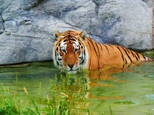 Postal: Un gran tigre dentro del agua
