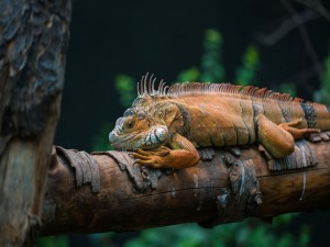 Postal: Iguana sobre un tronco