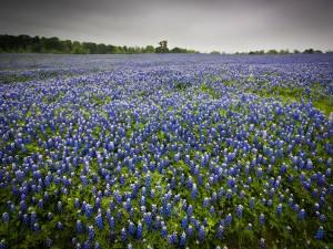 Campo lleno de flores de color azul