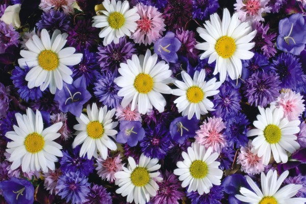 Margaritas blancas entre flores de color morado